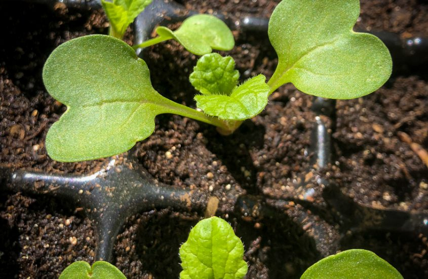Seed Leaves and True Leaves