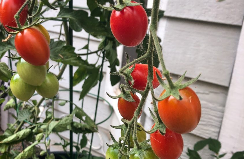 Tomatoes Are Forever