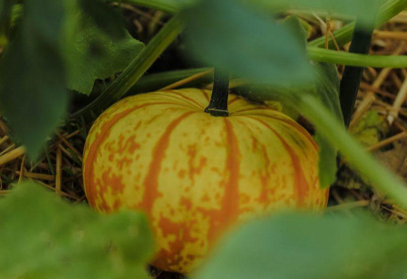 The Beauty of Pumpkins